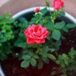 Chia sẻ cách trồng hoa Hồng bằng cành không bị chết
