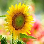 Phương pháp trồng hoa Hướng Dương tại nhà
