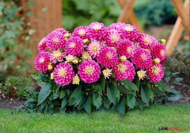 Kinh nghiệm trồng cây hoa Mẫu Đơn ra hoa quanh năm - hoa mau don