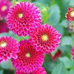 Cách trồng hoa Thược Dược từ hạt - hoa thuoc duoc 1 150x150