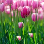 Cách trồng hoa Tulip trong chậu đơn giản
