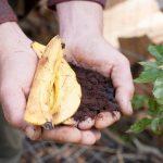 Cách trồng hoa Hồng leo sử dụng Cà Phê vỏ Chuối làm phân bón - hoa1 150x150
