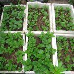 Học ngay cách tự trồng rau sạch trong thùng xốp dễ dàng