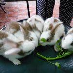 Kỹ thuật nuôi Thỏ con - huong dan cach nuoi tho kieng mini de nhan giong 2 150x150