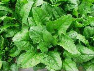 Hướng dẫn cách trồng Cải bó xôi 3