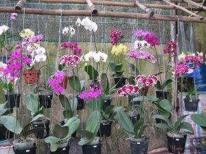 Hướng dẫn cách trồng Lan Hồ Điệp ra hoa - huong dan cach trong lan ho diep ra hoa1 300x225