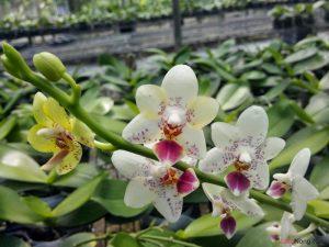 Hướng dẫn cách trồng Lan Hồ Điệp ra hoa - huong dan cach trong lan ho diep ra hoa2 300x225