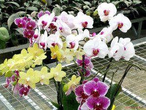 Hướng dẫn cách trồng Lan Hồ Điệp ra hoa - huong dan cach trong lan ho diep ra hoa3 300x225 1