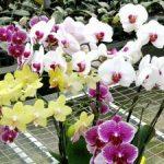 Hướng dẫn cách trồng Lan Hồ Điệp ra hoa