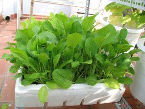 Hướng dẫn cách trồng rau cải bó xôi tại nhà 3