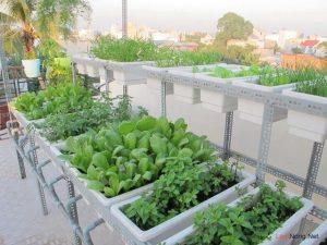 Hướng dẫn cách trồng rau cải bó xôi tại nhà 2