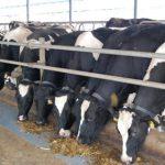 Cách phòng và trị bệnh viêm vú ở Bò sữa