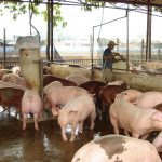 Hướng đi mới từ mô hình chăn nuôi an toàn sinh học - huong di moi tu mo hinh chan nuoi an toan sinh hoc 150x150