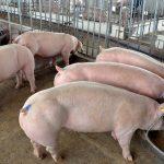 Chăn nuôi Heo thịt hiệu quả cao liệu có khó?