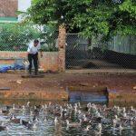 Vịt trời đã được nuôi thành công ở Đắk Lắk - images1106540 vit troi 150x150