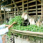 Mô hình trồng cỏ, nuôi Dê trong vườn tiêu sạch