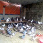 Thu nhập cao từ mô hình nuôi chim Bồ Câu Pháp - images1463768 7 150x150