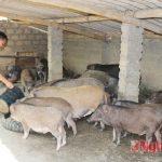 Thu nhập 500 triệu đồng mỗi năm từ nuôi Lợn rừng - images1499387 l1 150x150