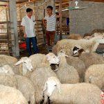 Nông dân thử nghiệm nuôi Cừu ở vùng gió Lào Nghệ An - images1590032 44 150x150