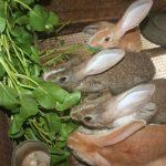 Thức ăn nuôi Thỏ - images509802 tho 1 150x150