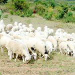 Phát triển mô hình chăn nuôi Cừu mang lại hiệu quả kinh tế cao - images537820 6b 150x150