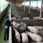 Phát triển mô hình chăn nuôi tập trung ở Bình Khê