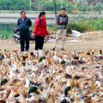 Mô hình chăn nuôi Vịt biển mới lạ ở Hạ Long