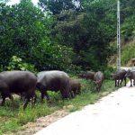 Hiệu quả mô hình nuôi trâu thương phẩm ở Tràng Lương (Quảng Ninh)