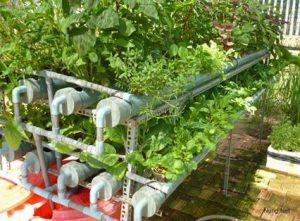 Hướng dẫn cách trồng rau thủy canh tại nhà (Phần 2) - img 576 300x221