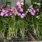 Cách chăm sóc hoa Lan Dendro - jmy1227793557 300x207 150x150