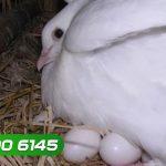 Kĩ thuật nuôi chim Bồ Câu giai đoạn sinh sản, ấp trứng - ki thuat nuoi chim bo cau giai doan sinh san ap trung 150x150