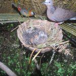Làm giàu nhờ nuôi chim Cu Gáy sinh sản