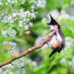 Kinh nghiệm chăm sóc chim Chào Mào hót