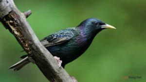 Kinh nghiệm nuôi chim Sáo - kinh nghiem nuoi chim sao1 300x169 1