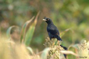 Kinh nghiệm nuôi chim Sáo - kinh nghiem nuoi chim sao2 300x199 1