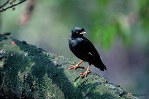 Kinh nghiệm nuôi chim Sáo - kinh nghiem nuoi chim sao3 300x201