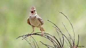Kinh nghiệm nuôi chim Sơn Ca - kinh nghiem nuoi chim son ca2 300x169