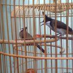 Kinh nghiệm thuần dưỡng chim Khướu cho dân chơi chim - kinh nghiem thuan duong chim khuou cho dan choi chim 1 150x150