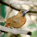 Chia sẻ kinh nghiệm thuần hoá chim Hoạ Mi (Phần 1) - kinh nghiem thuan hoa chim hoa mi1 300x202 150x150