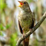 Chia sẻ kinh nghiệm thuần hoá chim Hoạ Mi (Phần 2) - kinh nghiem thuan hoa chim hoa mi3 241x300 150x150