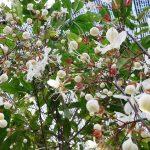 Kỹ thuật chăm sóc cây hoa Dạ Ngọc Minh Châu - ky thuat cham soc cay hoa da ngoc minh chau 150x150