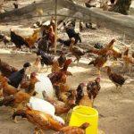 Kỹ thuật chăn nuôi Gà thả vườn lấy thịt - ky thuat chan nuoi ga tha vuon lay thit 150x150