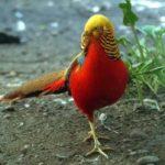 Kỹ thuật nuôi chim Trĩ đỏ (Phần 2) - ky thuat nuoi chim tri do4 300x201 150x150