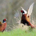 Kỹ thuật nuôi chim Trĩ đỏ (Phần 3) - ky thuat nuoi chim tri do8 150x150