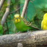 Cách huấn luyện chim Yến Phụng hót - ky thuat nuoi chim yen phung2 300x225 150x150