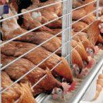 Kỹ thuật nuôi Gà công nghiệp đẻ trứng (Phần 1) - ky thuat nuoi ga cong nghiep de trung1 300x210 jpeg 150x150
