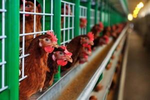 Kỹ thuật nuôi Gà công nghiệp đẻ trứng (Phần 1) - ky thuat nuoi ga cong nghiep de trung2 300x200