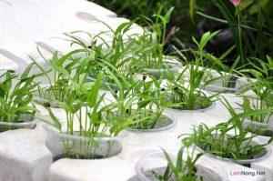 Cách trồng rau Muống đơn giản tại nhà - ky thuat trong cay rau muong 02 300x199