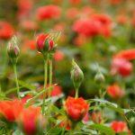 Cách trồng hoa Hồng tỉ muội - ky thuat trong hoa hong ty muoi 150x150