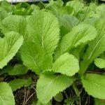 Kỹ thuật trồng rau Cải Bẹ xanh tại nhà